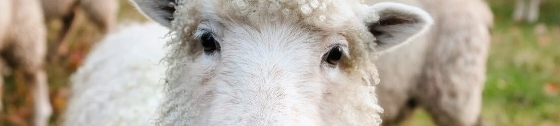 A one year old male lamb was sacrificed for every family during Passover as an image of the coming Messiah who would become the Lamb of God.