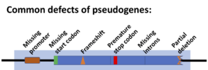 Pseudogenes are frequently non-functional, although some definitely produce products.
