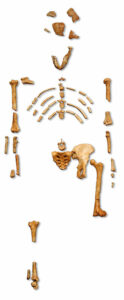 Lucy is a putative ancestor of humans.
