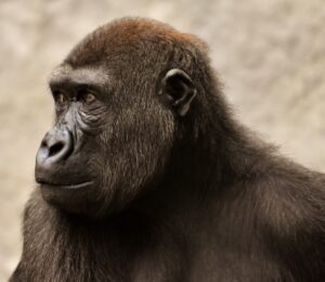The theory that humans developed from apes has a difficult fossil record.